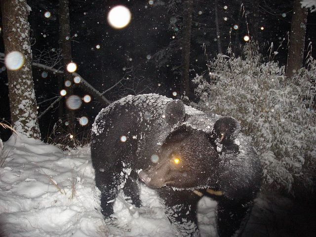 Asian Black Bear in the snow by siwild, via Flickr