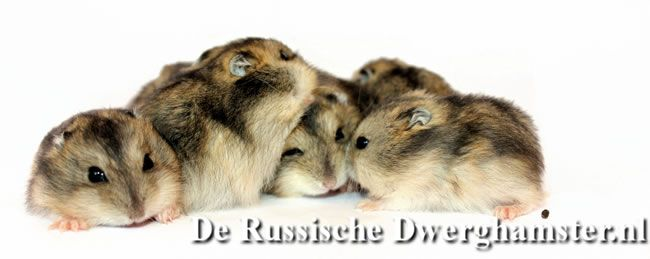 dwerghamsters #dwerghamster #russischedwerghamster #hamster