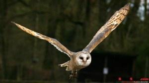Kepakan Sunyi Sayap Burung Hantu