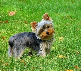 The Cool Puppy Articles:: Dog Breeds- The Yorkshire Terrier...The ...