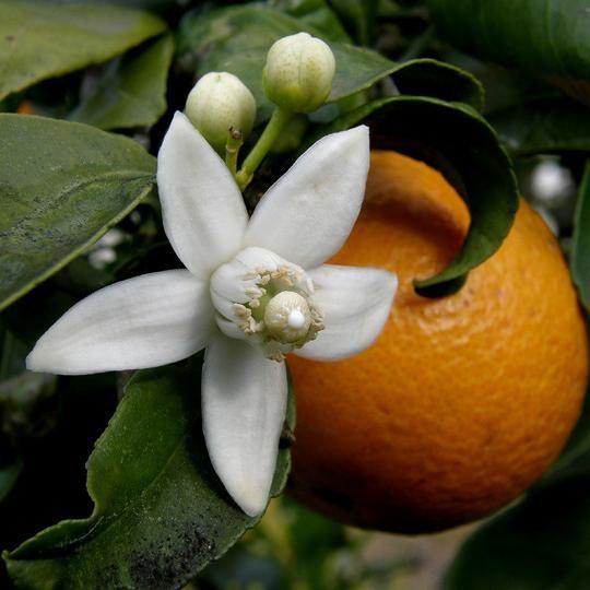 Cuáles son las propiedades de la flor de azahar. La flor de azahar es muy apreciada tanto en el ámbito culinario como en el medicinal por sus conocidas propiedades terapéuticas. Para beneficiarnos de todas ellas, podemos elaborar agua de azahar, pre...