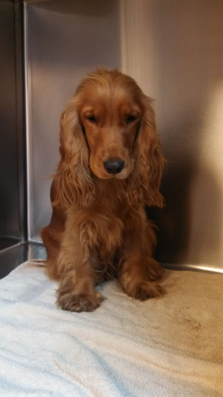 10/13/13: Thunder is a one year old purebred English Cocker Spaniel.  He is very sweet and loving.  He came from a breeder who could no longer keep him and has never been neglected or abused.  We are working on housebreaking and he is doing well.  He is a...