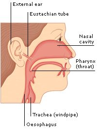 The eustachian tube connects the ear to the nasal cavity and throat and maintains equal air pressure on both sides of the eardrum.