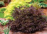 Black Foliage Shrubs to Add Color to the Border: Sambucus Black Beauty