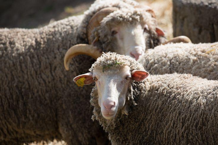 L' Agnello delle Dolomiti Lucane e il suo allevamento hanno da sempre un forte legame con la ruralità della #Basilicata, sia per la loro importanza sul territorio, sia per la reputazione posseduta presso i consumatori. #agnello #dolomiti #lucane #Matera #ospitiBasilicataFoodeWine