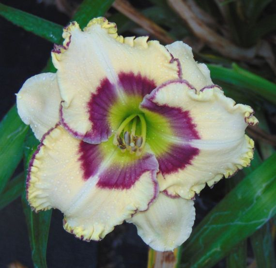 THIS IS ONE OF OUR DAYLILY SEEDLINGS THAT WE HAVE PRODUCED THROUGH OUR BREEDING PROGRAM. THIS DAYLILY IS UNIQUE TO OUR NURSERY, NO ONE ELSE HAS IT. Serene Garden (S-43.2) 22 tall, semi-evergreen, early to mid season, 4 1/2 bloom, tetraploid. Pale creamy yellow with a violet eye and a double edge of violet and bright yellow, green throat. Reblooms. Very nice daylily, produces a ton of flowers. This listing is for a blooming size, 2 fan division, shipped bareroot. We will combine items to ...