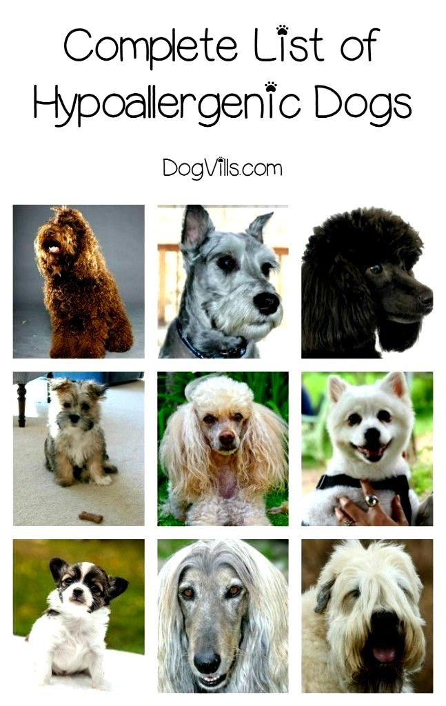 We Re Making It Easy For You To Find The Hypoallergenic Dog Breed Of Hypoallergenic Dog Breed Hypoallergenic Dogs Dog Breeds List