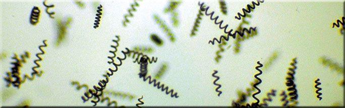 La microalga Spirulina