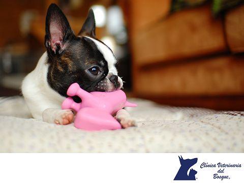 """¿Sabías que los perros mudan de dientes? LA MEJOR CLÍNICA VETERINARIA DE MÉXICO. Un perro tiene 42 piezas dentarias. Cuando son cachorro mudan sus dientes de """"leche"""" pero no los ves en el piso o cualquier otro lugar porque se les caen mientras comen y los tragan con el alimento, después los eliminan por medio de las heces. En Clínica Veterinaria del Bosque te invitamos a visitar nuestro sitio web www.veterinariadelbosque.com, para conocer todos los servicios que ofrecemos.  #veterinaria"""
