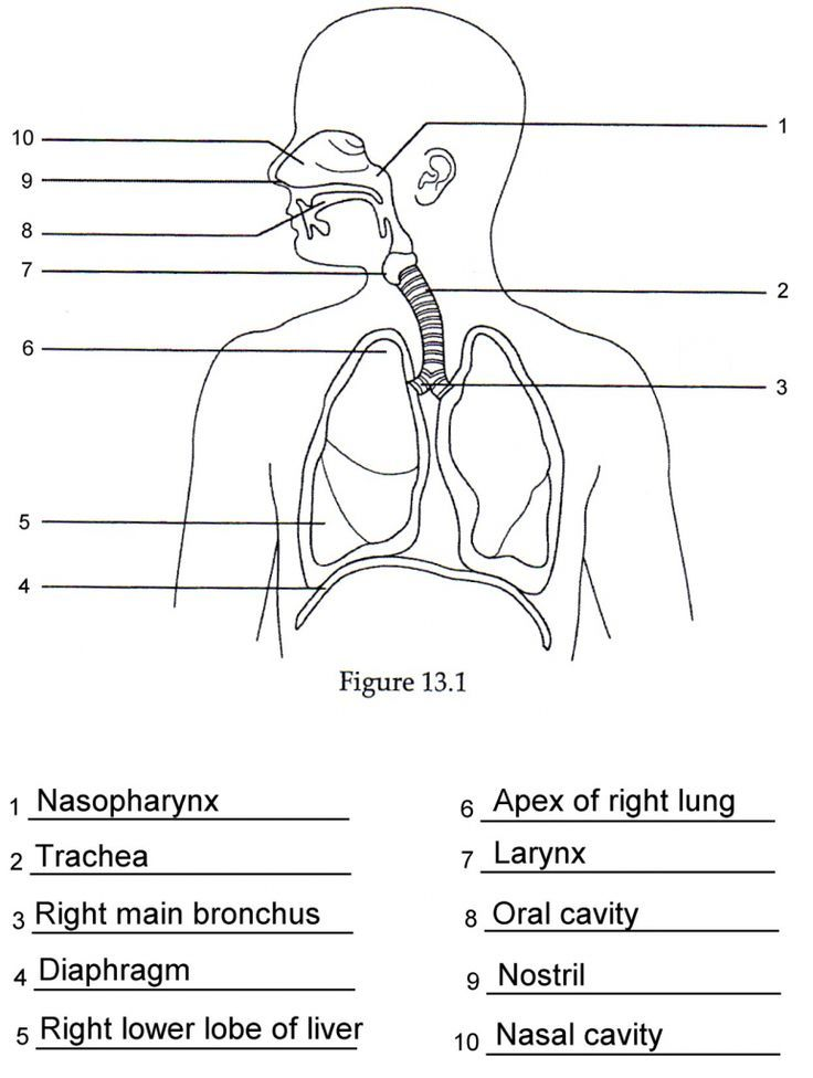 Respiratory System Diagrams To Label Human Respiratory System