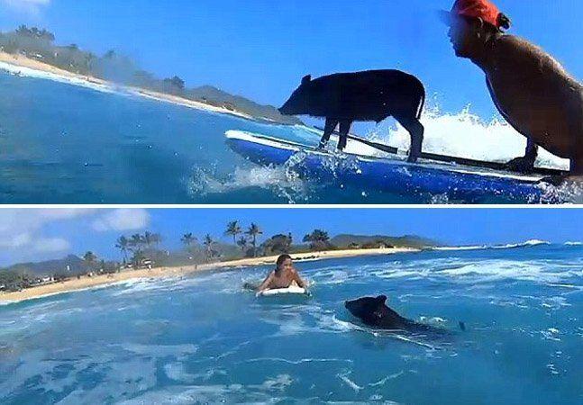 Quando o surfista Holt levou um porco abandonado para casa, nunca imaginou que partilhariam a mesma prancha de surf. Mas atualmente é isso que acontece: o porquinhoKamapua'a (Kama para os íntimos) mostra muita habilidade nas ondas do Havaí e já tem até marcas que o patrocinam. Tudo começou por acaso. Alguns meses depois de Holt ter levado o bicho para casa, ele caiu dentro da piscina e, para surpresa da família, nadou tranquilamente, ficando na superfície o tempo inteiro. Não demorou muito…