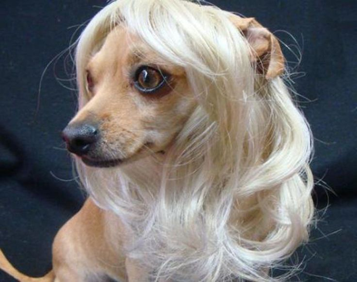 Dogs With Wigs | creatures | Dog costumes, Dog with wig, Dogs
