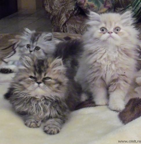Удивленные персидские котята