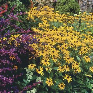 Perennial Winner: Black-Eyed Susan Flower. 2012 June just started growing these for landscaping around deck. KDK