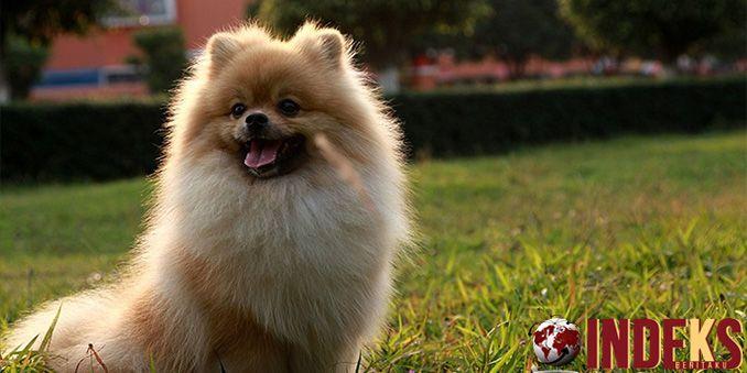 Tips Pelihara anjing jenis Pomeranian . Jenis anjing pomeranian termasuk dalam trah anjing kecil atau toy.Anjing pom biasanya sangat rentan dalam masalah