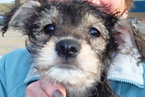 The 'P' Litter Portia is an adoptable Schnauzer Dog in Oswego, IL. Hi Everyone, We are the 'P' Litter babies and we are 8 week old Schnoodle babies and looking for loving forever homes. We were rescue...