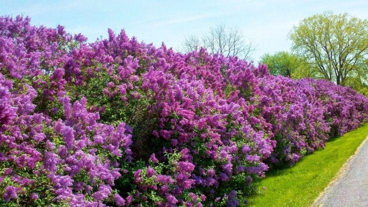 8 лучших растений для пейзажных изгородей. Растения для живых изгородей. Описание, фото - Ботаничка.ru - Страница 3