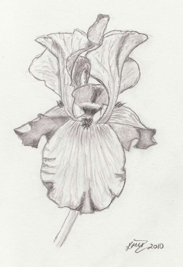 Line Drawing Of Iris Flower : Best images about irises on pinterest coloring pages