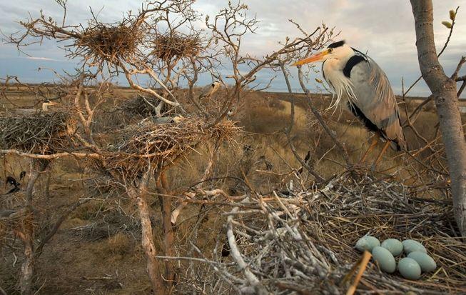 В колонии серых цапель вот-вот появятся птенцы. Кабанский федеральный заказник, дельта Селенги.