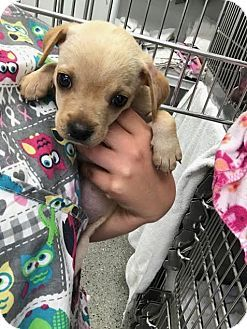Sayville, NY - Chihuahua Mix. Meet Apple, a puppy for adoption. http://www.adoptapet.com/pet/18040288-sayville-new-york-chihuahua-mix
