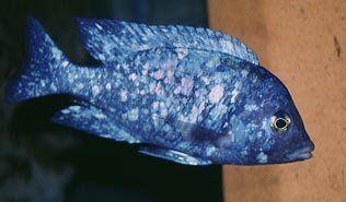 Пятнистый фенохилус … цихлиды озера Малави