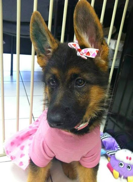 GSD Puppy-Princess