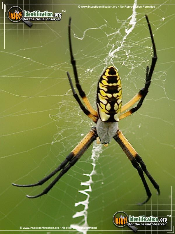 Black And Yellow Garden Spider The Ubiquitous Black And Yellow Garden Spider Is A Steadfast