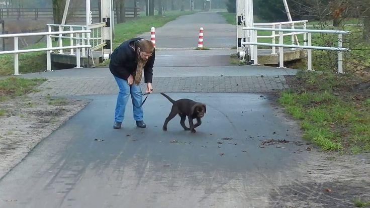 Grappige bruine Labrador pup Dexter aan het oefenen in Borgerswold(cute ...