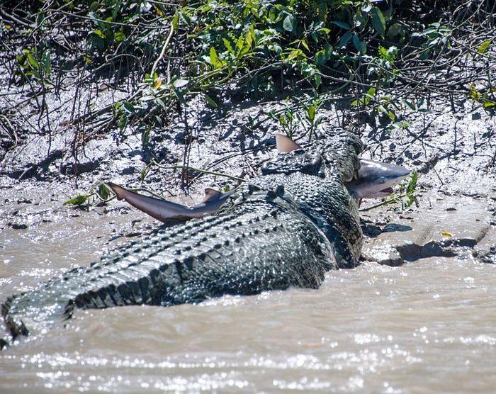 Este cocodrilo comiéndose un tiburón toro  El cocodrilo de agua salada tiene un nombre: Brutus. No te metas con un dinosaurio de la edad moderna que tiene nombre de humano.
