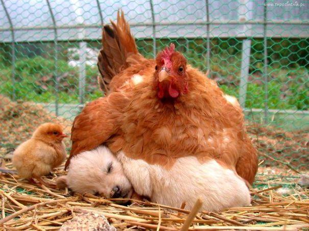 Nous savons pertinemment que les animaux sont capables de créer des liens amicaux particulièrement improbables entre espèces, mais lorsque nous les surprenons en train de faire une sieste ensemble, alors ils n'en sont qu'encore plus adorables. Une sieste est un moment privilégié à partager avec un être aimé… quelle que soit son espèce. #1 Chien, chat