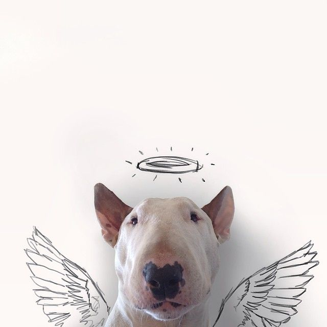 they are angels aren't they -------------- Artist Rafael Mantesso has created a series of drawings/colages featuring his bull terrier, Jimmy Choo.