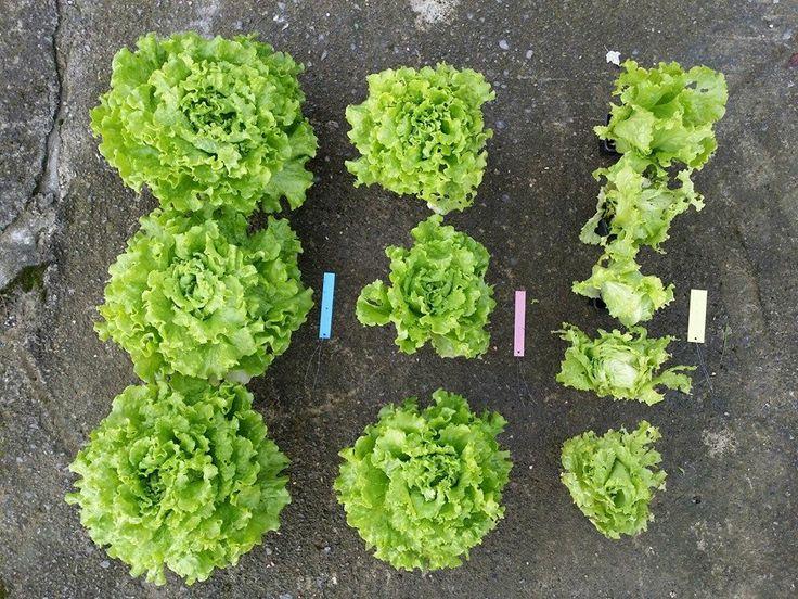 - Izquierda: con Mantillo Especial CHAMAE + CHAMAE - Centro: con Mantillo Especial CHAMAE - Derecha: en suelo más químicos.... ¿Quien quiere MANTILLO ESPECIAL CHAMAE?  Presentado en FRUIT ATTRACTION 2015 #pinterest #chamae #fertilizante #fertilizanteorganico #fertilizantenatural #extractovegetalnatural #natural #vegetal #eco #agricultura #ecologia #agriculturanatural #ecologico #organico #sinconservantes #sinquimicos #medioambiente #huerto #cultivo #sostenible #salud