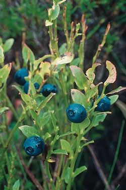 "Clan Scott's plant badge is the Blaeberry (Vaccinium myrtillus); ""blae"" means blue/black or blackish/blue.  It is called the bilberry in England and a whortleberry or dwarf huckleberry in the U.S."