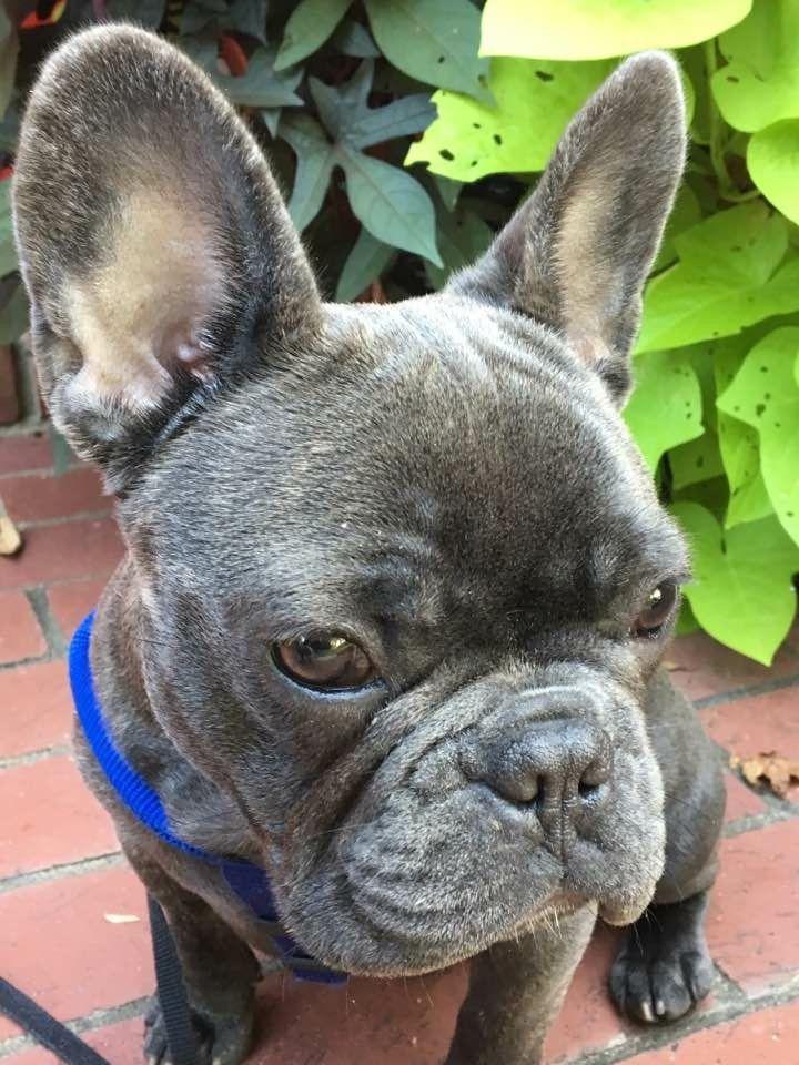 Blue Brindle French Bulldog Blue Brindle French Bulldog French