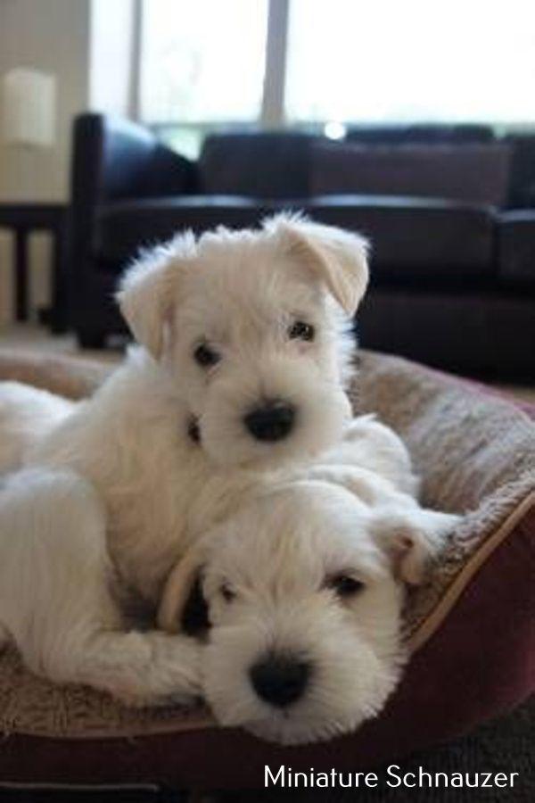 Miniature Schnauzer Smart And Obedient White Miniature Schnauzer Puppies Schnauzer Puppy