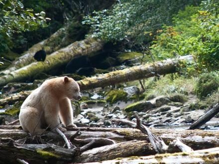 Spirit bear (white variety of black bear) in Central Coast of BC