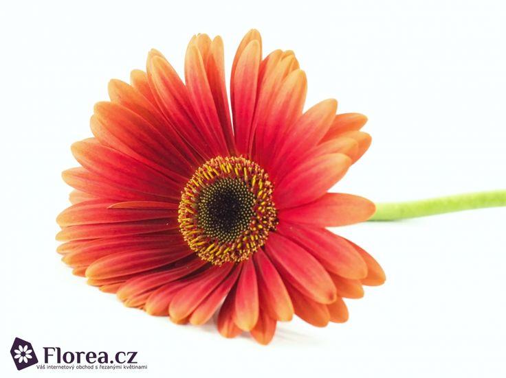 Gerbera Lynx http://www.florea.cz/produkty/gerbera-1 #gerbera #flowers