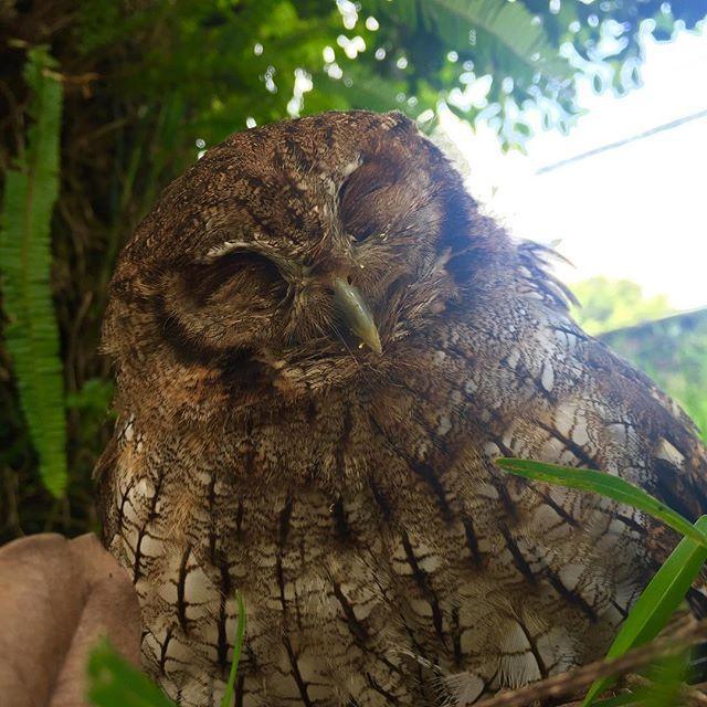 El búho de ayer en modo dormir :3... salidas con pequeñas sorpresas... #buho #owl #photography #sleepy