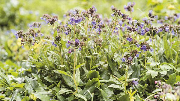 Plicníky vyniknou vupravené zahradě idivokém porostu