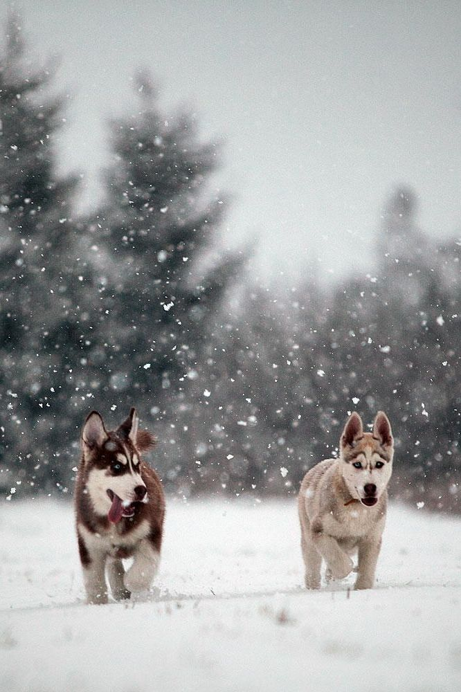 Puppy huskies in the snow!!