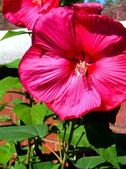 Details About Hardy Hibiscus Seeds Fantasia Ii Winter Hardy