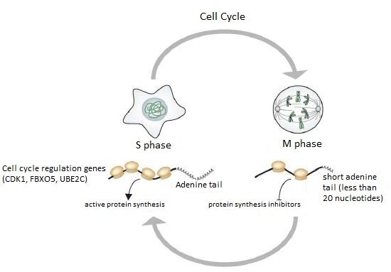 New research shows that poly(A) tail length regulates translation of somatic cell cycle