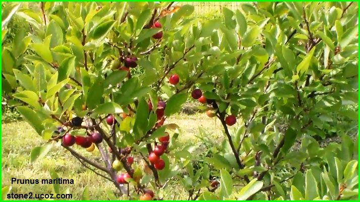 خوخ بحري او برقوق بحري Prunus Maritima قسم الفواكه النبات معلومات نباتية وسمكية معلوماتية Prunus Red Peppercorn Peppercorn