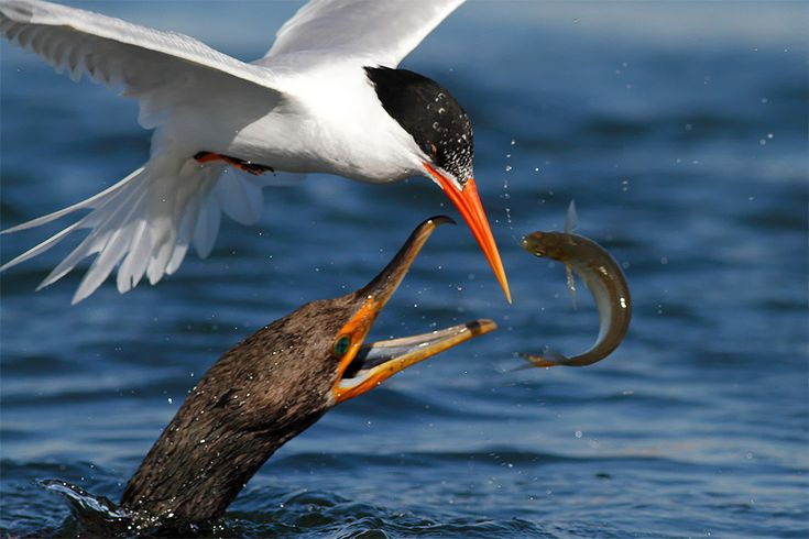 Remarkable High Speed Photos of Birds Catching Fish by Salah Baazizi  http://www.thisiscolossal.com/2015/09/remarkable-high-speed-photos-of-birds-catching-fish-by-salah-baazizi/