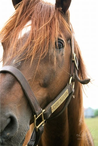 Chestnut Thoroughbred Horse art photograph by LibertyImages on ArtFire