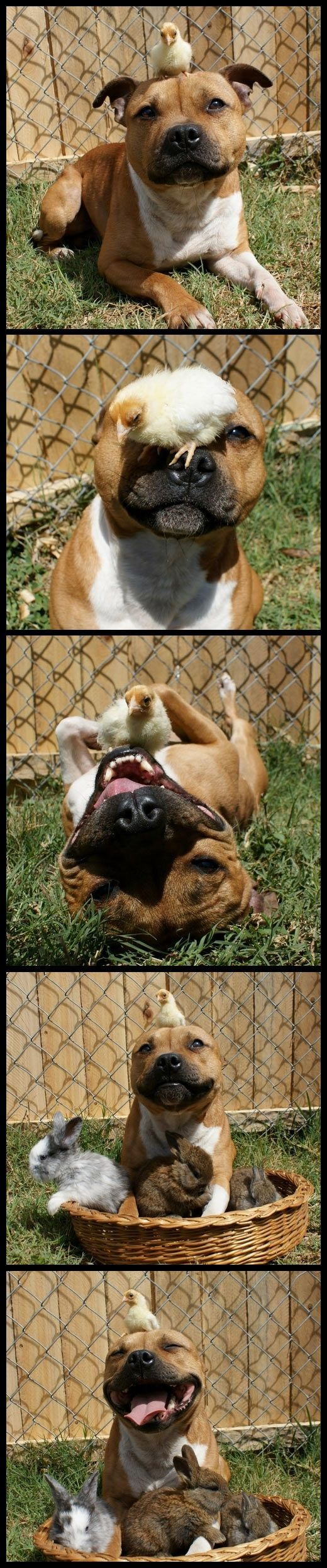 The perfect example of a vicious pit bull. Ha!