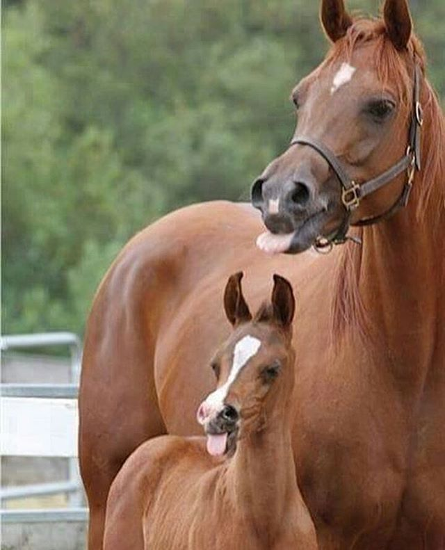 Mare and foal, sticking out their tongues.