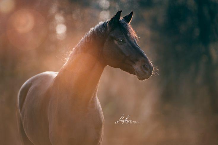 Ein dunkelbraunes Pferd im Portrait | Blendenflecken | Bilder | Foto | Fotografie | Fotoshooting | Pferdefotografie | Pferdefotograf | Ideen | Inspira…