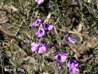 Westringia Crassifolia 'Whipstick Westringia'