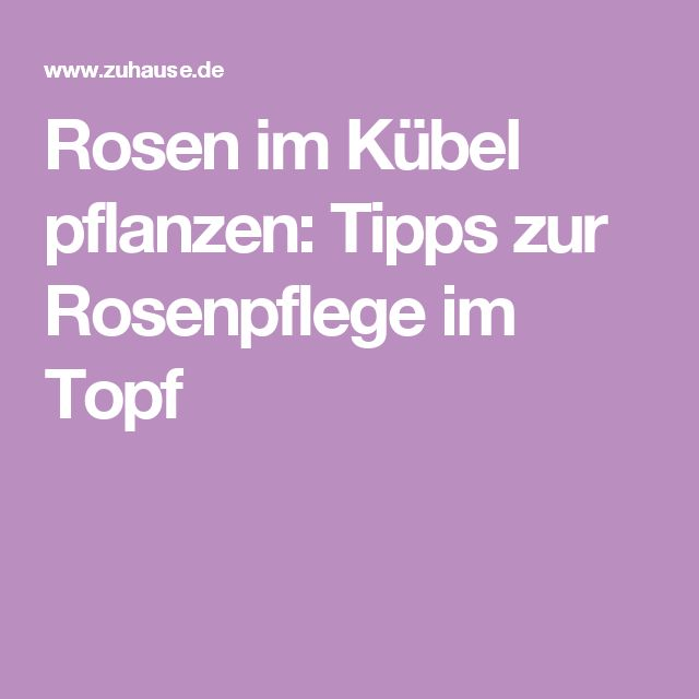 Rosen im Kübel pflanzen: Tipps zur Rosenpflege im Topf